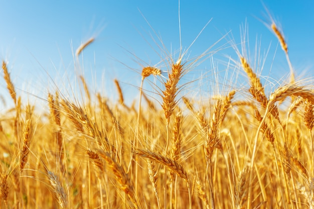 Golden wheat field and sunny day Premium Photo