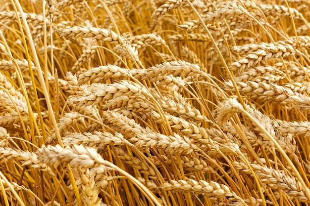 Golden Wheat Growing In Field During Summer Photo Premium