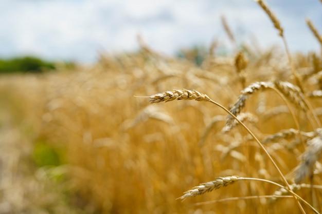 Golden wheat spikes Premium Photo