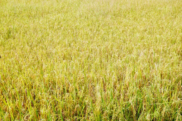 Golden yellow rice field Premium Photo