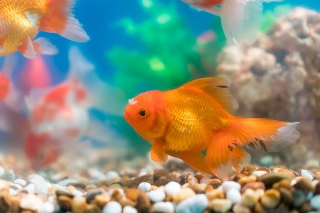 Goldfish In Freshwater Aquarium With Green Beautiful Planted Tropical Premium Photo