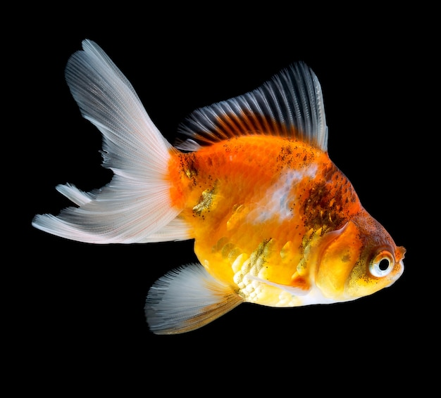 Goldfish isolated on black background Premium Photo