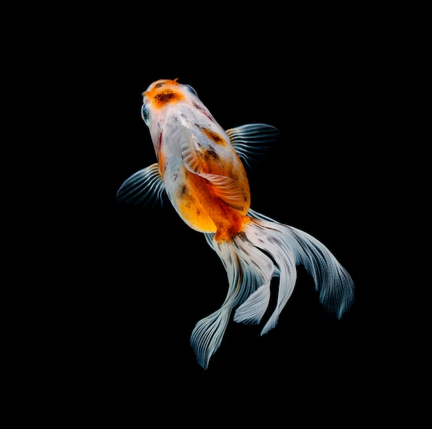 Goldfish isolated on a dark black background Premium Photo
