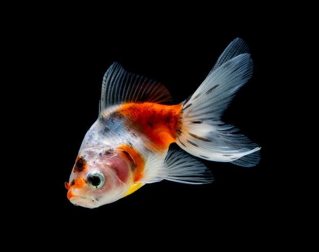 Goldfish isolated on a dark black background Premium Photo