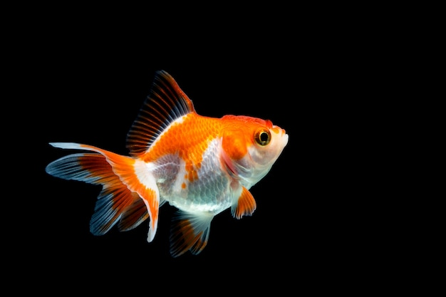 Goldfish isolated on dark black Premium Photo
