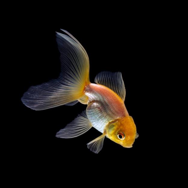 Goldfish isolated Premium Photo