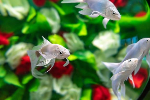 金魚は水の下で花の間を泳ぐ Premium写真