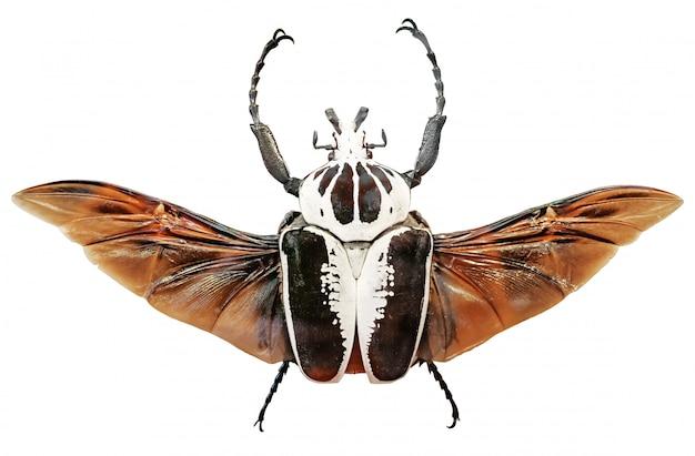 Goliathus regius、ロイヤルゴリアテカブトムシ。ゴリアテカブトムシ絶縁 Premium写真