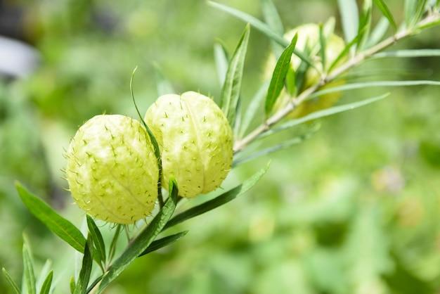 Gomphocarpus physocarpus баллонные растения Premium Фотографии