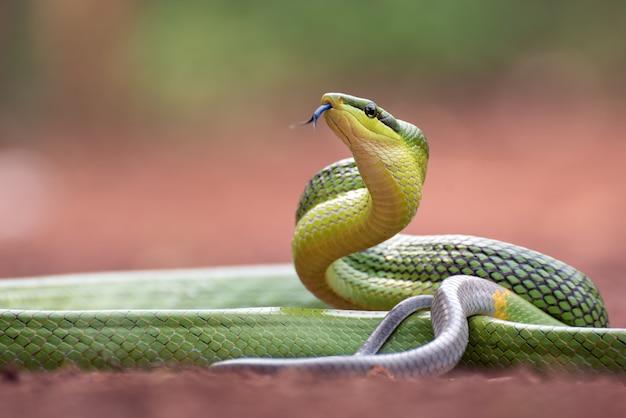 赤い尾の緑のネズミヘビとして知られているgonyosomaoxycephalum Premium写真