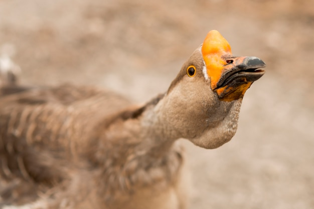 Goose in a ecological farm Free Photo