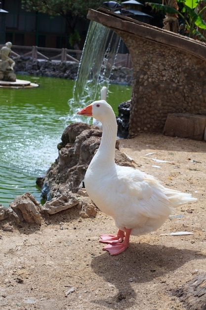 Goose in the margherita park, trapani coast Premium Photo