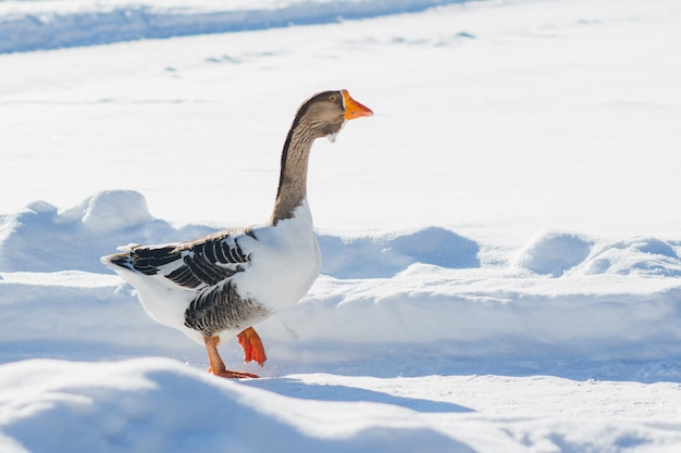 Goose walking in the snow Premium Photo