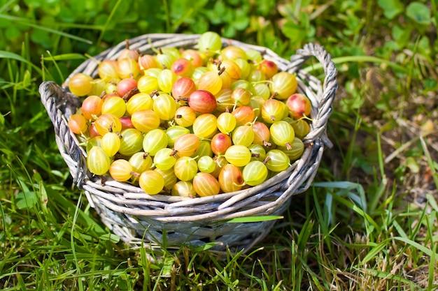 Gooseberry in basket  on grass Premium Photo