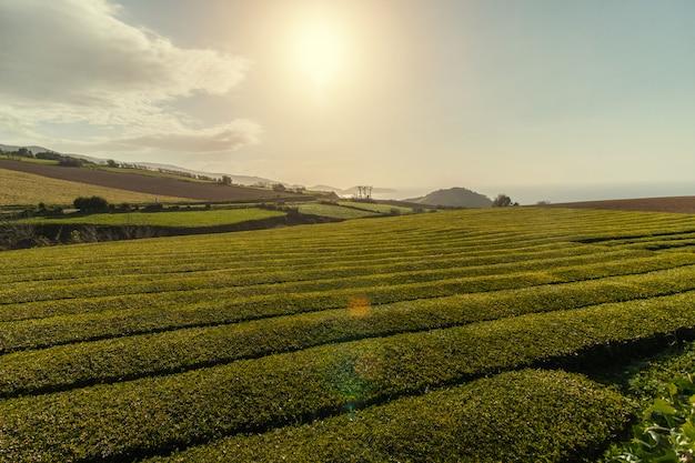 Gorreana tea fields Premium Photo