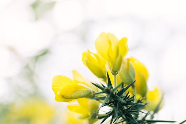 Cespuglio di ginestra coperto di fiori gialli Foto Gratuite