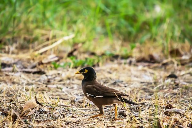 コウモリまたはgracula religiosa鳥共通 Premium写真