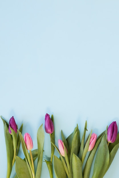Gradient pink tulip flowers arrangement on sky blue background Free Photo