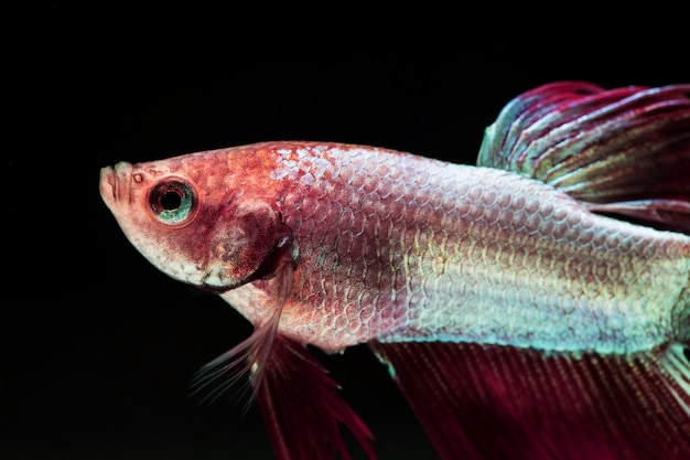 Gradient violet and pink dumbo betta splendens fighting fish Free Photo