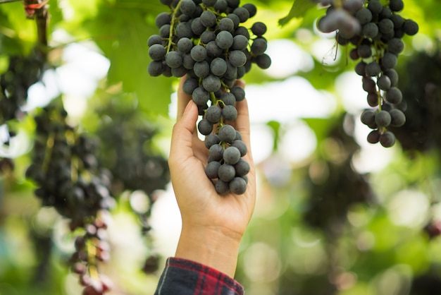 Grape harvest farm Free Photo