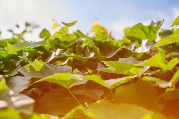 Виноградные листья в винограднике. зеленая лоза листья в солнечный день сентября. вскоре осенью собирают урожай винограда для приготовления вина, варенья, соков, желе, экстракта виноградных косточек, уксуса и масла виноградных косточек. Premium Фотографии