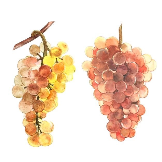 Grape ripe berries. hand drawn watercolor painting illustration. Premium Photo