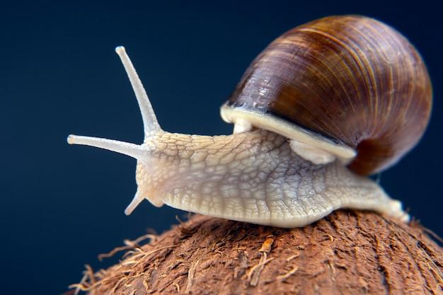 Grape snail on a coconut on a dark Premium Photo