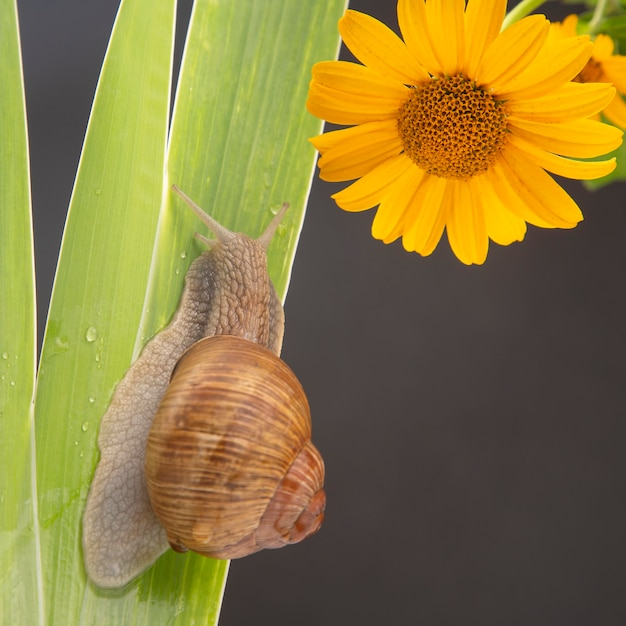 Grape snail crawling on green leaves. mollusc and invertebrate. delicacy meat and gourmet food. Premium Photo