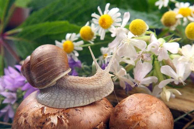 Grape snail crawling over mushrooms of flowers. mollusc and invertebrate Premium Photo