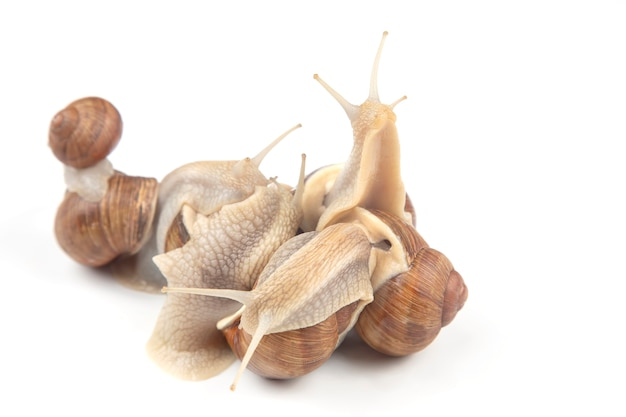 Grape snail,  mollusc and invertebrate. gourmet protein meat food. communication of the individual in society Premium Photo