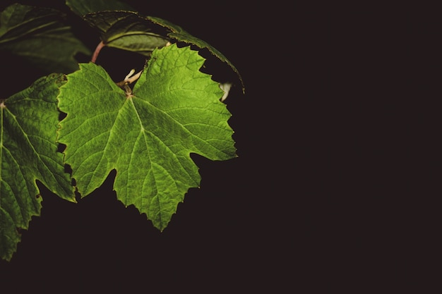 Grape vine leaves at night Free Photo