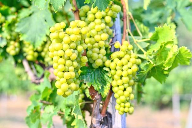 ブドウ園で育つブドウ。秋の新鮮な甘い収穫 無料写真