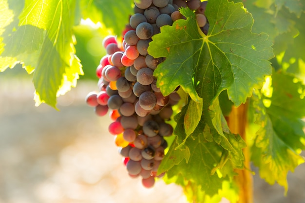 Grapes at vineyards plant  in sunny  day Free Photo