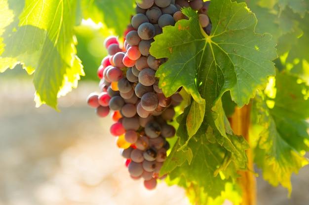 Uva nella pianta di vigneti in giornata di sole Foto Gratuite