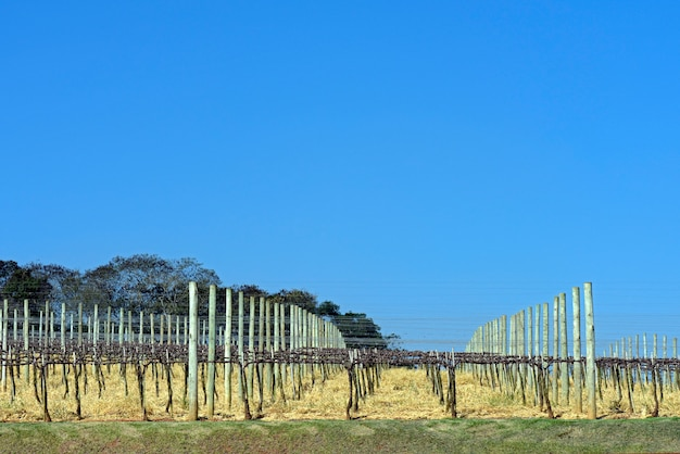 Grapevine plantation in rest period Premium Photo