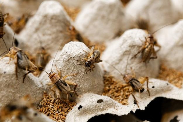 Grasshopper breeding Premium Photo