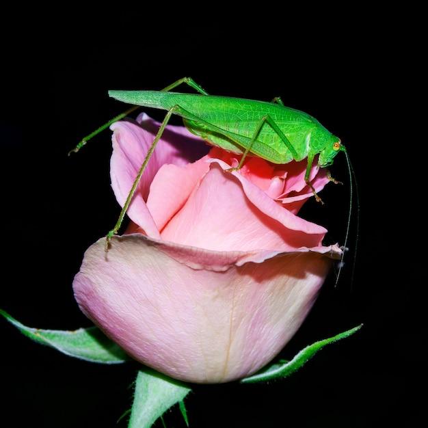 Кузнечик, зеленая акация, сидит на бутоне розовой розы. Premium Фотографии