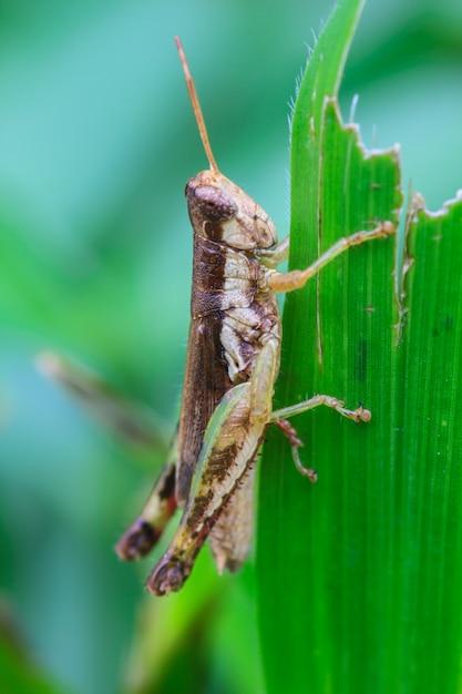 Grasshopper perching on a leaf Photo   Premium Download