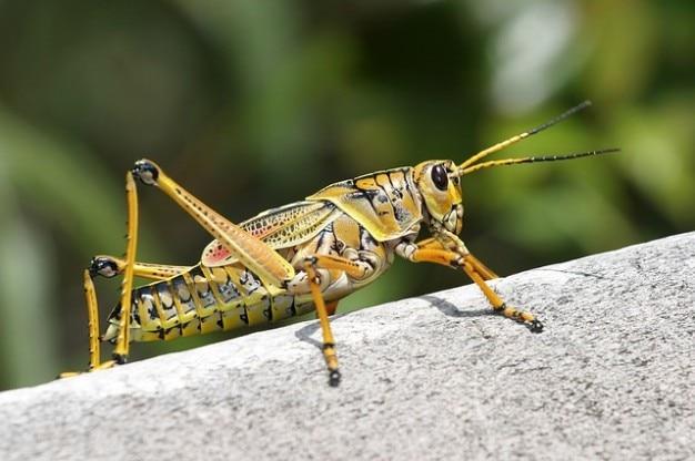 Кузнечик romalea caelifera microptera насекомых Бесплатные Фотографии
