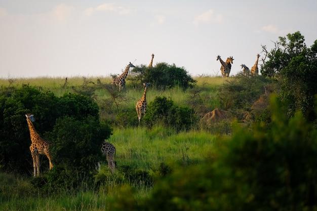 Campo erboso con alberi e giraffe che camminano intorno con cielo azzurro sullo sfondo Foto Gratuite