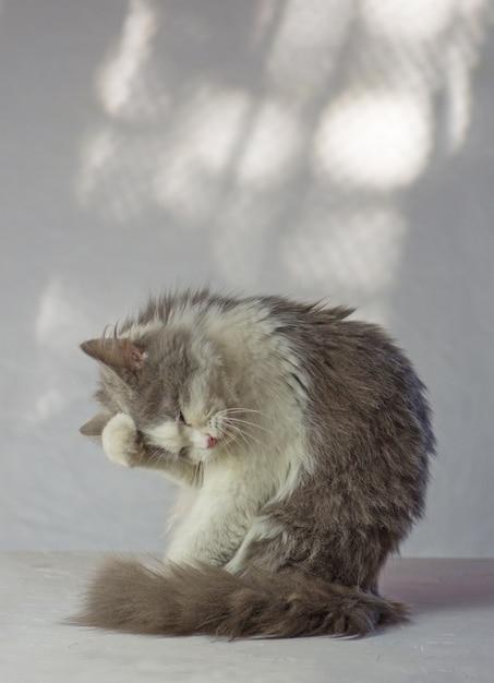 灰色の猫は彼の顔に足を持っています Premium写真