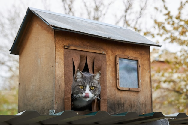 Gray cat sits in his wooden house, sticking his head out and licking his lips Premium Photo