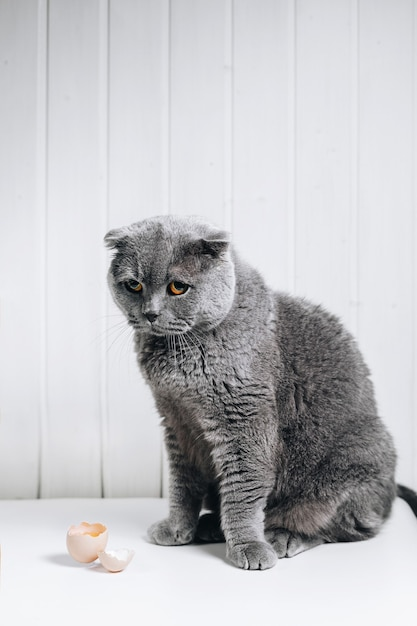 A gray cat sits with a guilty gaze Premium Photo