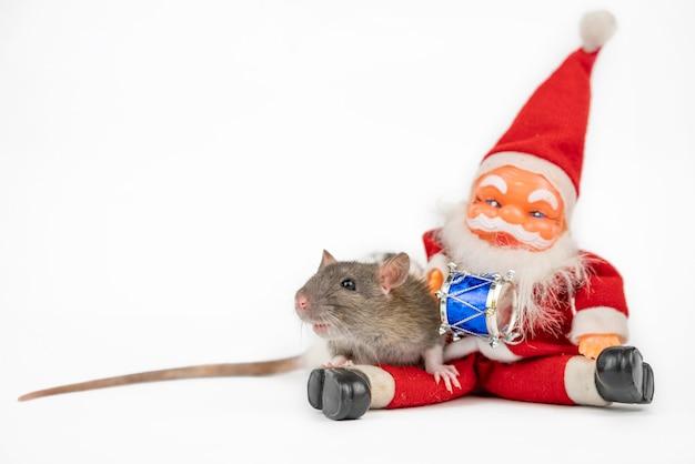 Серая милая крыса на белом с изолятором санта клауса Premium Фотографии