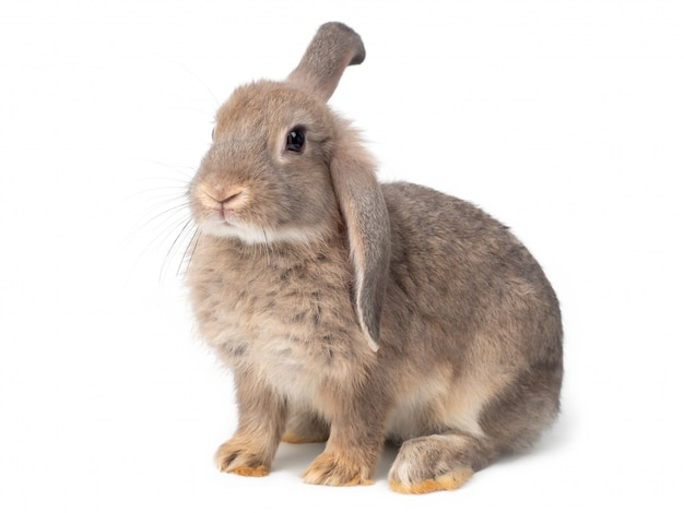 Gray cute young rabbit isolated lovely young gray rabbit sitting. Premium Photo