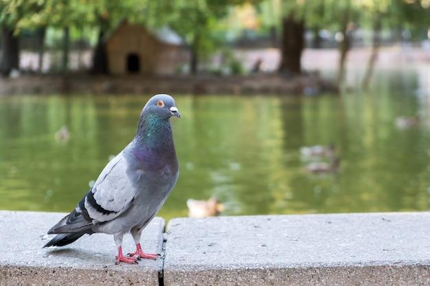 Птица серого голубя на открытом воздухе в городском парке. Premium Фотографии