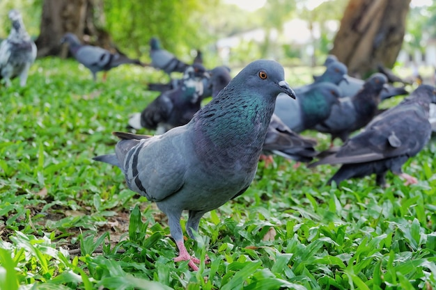 Gray dove or pigeon (columba livia) is standing and eating bread on green grass in the pub Premium Photo