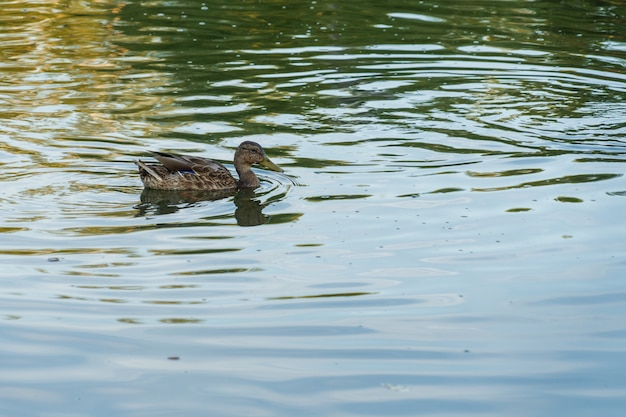 A gray duck swims in a blue lake on a sunny day in summer. Premium Photo