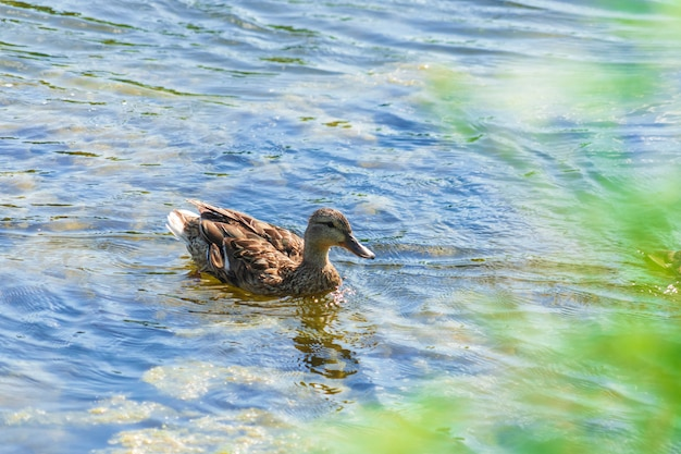 Gray duck swims in the lake on a sunny day in summer. Premium Photo