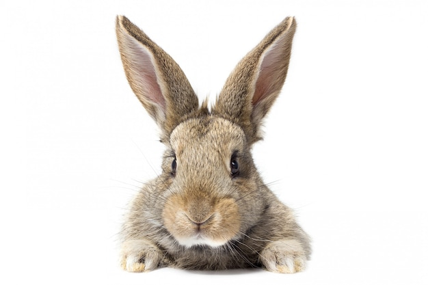 Gray fluffy rabbit looking at the signboard. isolated on white background. easter bunny Premium Photo